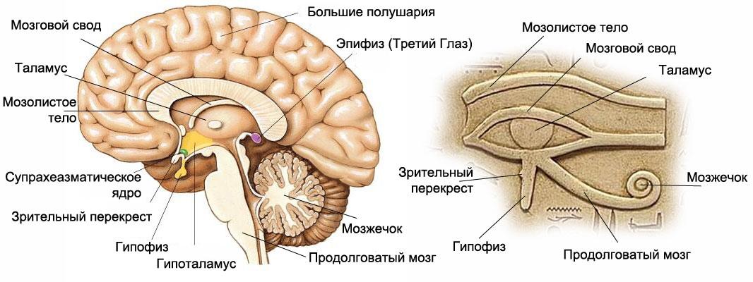 Изображение «Ока Ра» полностью совпадает с расположением древних центров в мозге человека
